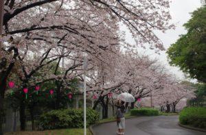 荒子川公園桜