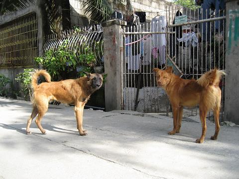 フィリピン野良犬