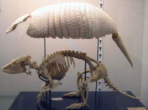アルマジロの骨格標本