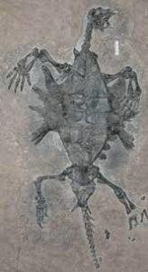 オドントケリス化石