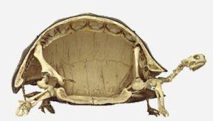 カメの骨格標本1