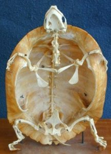 カメの骨格標本2