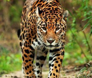 ジャガー1