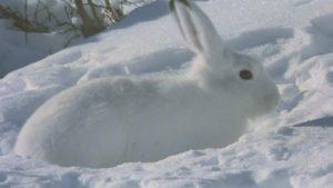ユキウサギ1